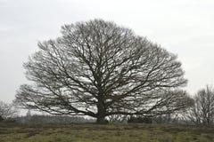 Árbol contra el cielo gris Fotos de archivo libres de regalías