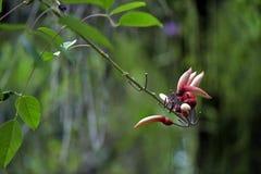 Árbol coralino del espolón de gallo en la floración Imagen de archivo