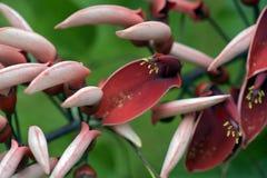 Árbol coralino del espolón de gallo en la floración Fotografía de archivo libre de regalías