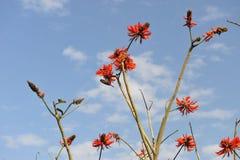 Árbol coralino floreciente Imagen de archivo