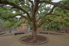 árbol creciente grande en la universidad de Tokio foto de archivo libre de regalías