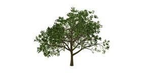 Árbol creciente (versión del color) ilustración del vector