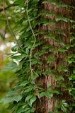 Árbol cubierto completamente con las hojas de la hiedra Imagen de archivo