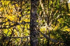 Árbol cubierto con el liquen blanco Fotografía de archivo