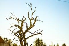 Árbol cubierto con el liquen blanco Fotografía de archivo libre de regalías