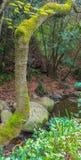 Árbol cubierto con el musgo Imagen de archivo