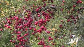 Árbol cubierto con las manzanas rojas almacen de metraje de vídeo