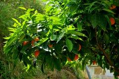 Árbol cubierto con las naranjas maduras y las flores blancas imagen de archivo