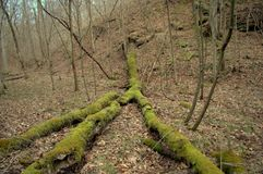 Árbol cubierto de musgo foto de archivo