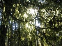 Árbol cubierto de musgo Fotos de archivo libres de regalías