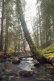 Árbol cubierto de musgo doblado que se inclina sobre una corriente en el bosque fotografía de archivo