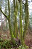 Árbol cubierto de musgo en el bosque Imágenes de archivo libres de regalías
