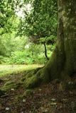 Árbol cubierto de musgo en un bosque Foto de archivo
