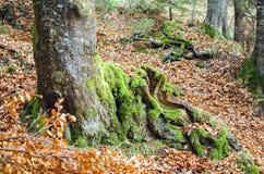 Árbol cubierto de musgo viejo en el bosque fotos de archivo libres de regalías