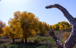 Árbol de álamo Foto de archivo libre de regalías