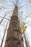 Árbol de álamo Fotografía de archivo libre de regalías