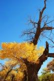 Árbol de álamo amarillo de oro y cielo azul del color Foto de archivo libre de regalías