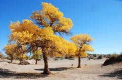 Árbol de álamo amarillo de oro y cielo azul del color Imagenes de archivo