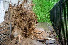 Árbol de álamo caido gigantesco derribado y grietas en asfalto como resultado del huracán severo en uno de patios de Moscú Imagen de archivo libre de regalías
