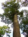 Árbol de álamo en el bosque de Nueva Inglaterra Imagenes de archivo