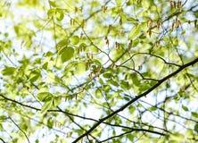 Árbol de álamo en llamarada de la primavera Foto de archivo libre de regalías