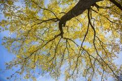 Árbol de álamo en luz del sol con las hojas amarillas contra skyn azul en a Foto de archivo