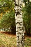 Árbol de abedul Foto de archivo libre de regalías