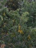 Árbol de abedul Fotografía de archivo