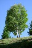 Árbol de abedul Fotografía de archivo libre de regalías