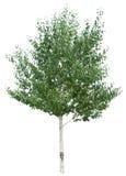 Árbol de abedul. Fotos de archivo libres de regalías