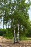 Árbol de abedul Foto de archivo