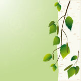 Árbol de abedul Fotos de archivo libres de regalías