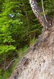 Árbol de abedul Imagen de archivo libre de regalías