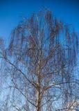 Árbol de abedul Imagenes de archivo