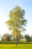 Árbol de abedul Fotos de archivo