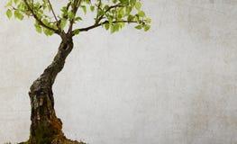Árbol de abedul aislado Fotos de archivo