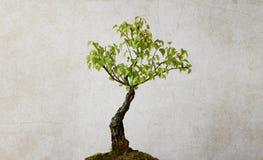 Árbol de abedul aislado Fotos de archivo libres de regalías