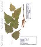 Árbol de abedul aislado Fotografía de archivo