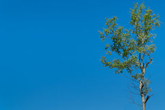 Árbol de abedul aislado Foto de archivo