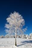 Árbol de abedul aislado cubierto con nieve fresca Fotos de archivo libres de regalías