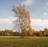 Árbol de abedul aislado en prado con el bosque colorido en fondo Fotografía de archivo libre de regalías