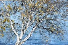 Árbol de abedul al lado del lago en otoño Foto de archivo libre de regalías