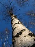 Árbol de abedul alto Imagen de archivo
