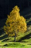Árbol de abedul amarillo Fotografía de archivo
