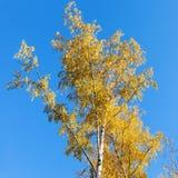 Árbol de abedul amarillo en fondo del cielo azul en otoño Fotos de archivo libres de regalías
