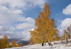 Árbol de abedul amarillo hermoso Foto de archivo