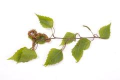 Árbol de abedul, amento Foto de archivo libre de regalías