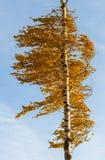 Árbol de abedul anaranjado Fotos de archivo libres de regalías