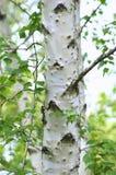 Árbol de abedul blanco Imagen de archivo libre de regalías