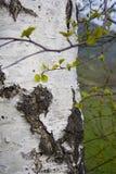 Árbol de abedul blanco Imagenes de archivo